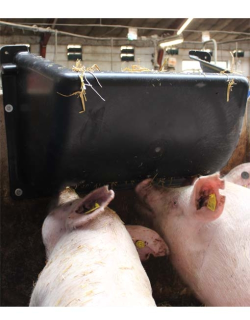 Plastic hay rack in use for sows